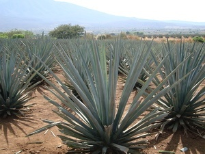 The Problem with Agave Syrup